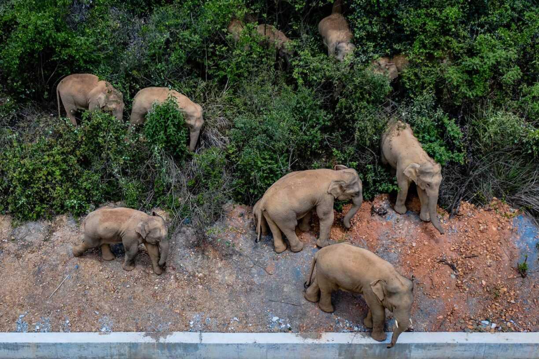15 éléphants errent sans but vers le nord de la Chine et personne ne sait pourquoi