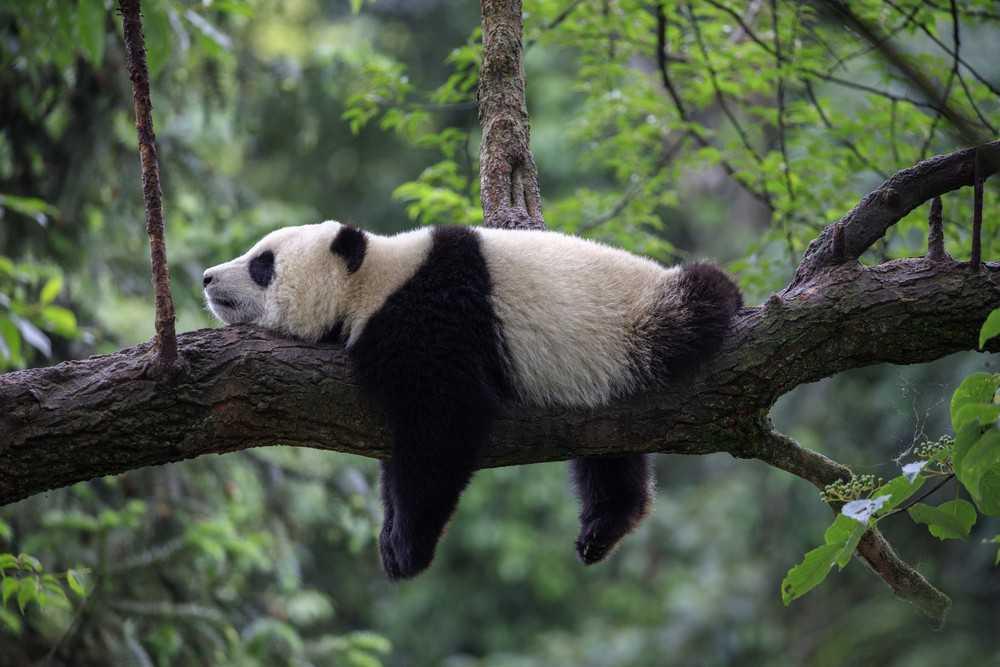 Les Pandas Géants Quittent La Liste Des Animaux En Voie